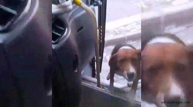 Köpek İle Halk Otobüsü Şoförünün Dostluğu