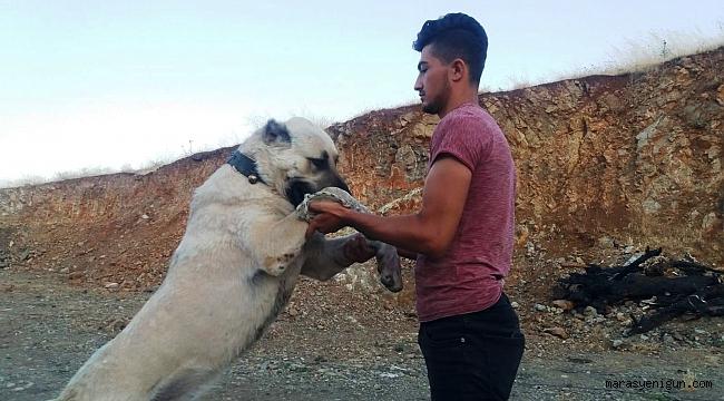 Otomobil Fiyatına Çoban Köpeği