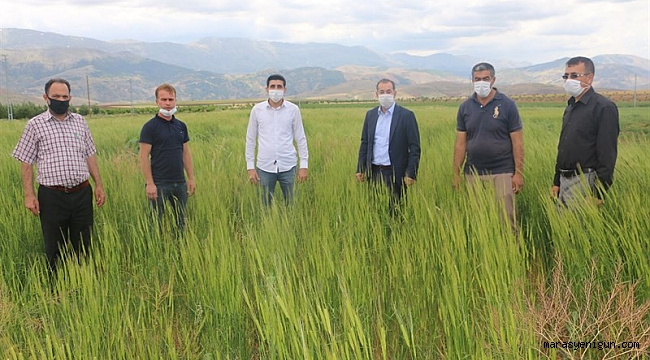 On Bin Yıllık Siyez Buğdayı, Ekinözü'nde İlk Kez Ekildi