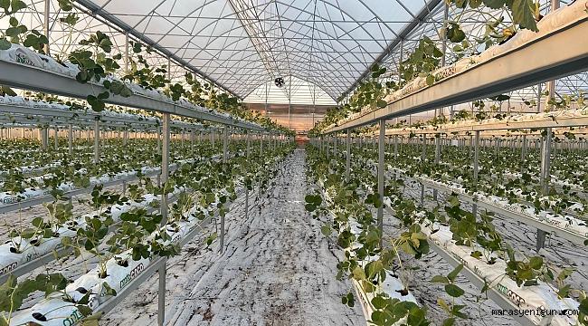 Kahramanmaraş'ta Topraksız Çilek Üretimi